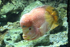 Bloemhoorn cichlid op aquarium Stock Afbeelding