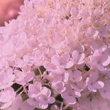 Bloemhydrangea hortensia Stock Fotografie