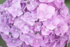 Bloemhydrangea hortensia Royalty-vrije Stock Foto's