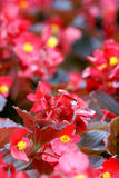 Bloemisten die begoniabloem met waterdaling bloeien Royalty-vrije Stock Foto's