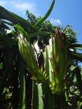 Bloemknop van draakfruit royalty-vrije stock foto