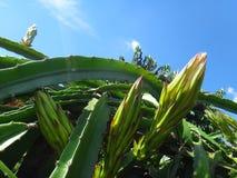 Bloemknop van draakfruit stock fotografie