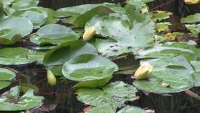 Bloemknoppen van a waterlily in een vijver stock videobeelden