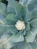 Bloemkoolaanplanting Stock Afbeelding