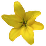 Bloemlelie geel op een witte die achtergrond met het knippen van weg wordt geïsoleerd Voor ontwerp close-up Stock Afbeeldingen