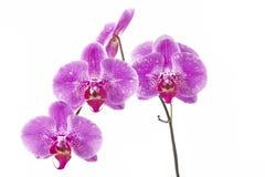 Bloemorchideeën Royalty-vrije Stock Afbeeldingen