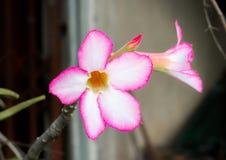 Bloemorchideeën mooi in Thailand stock foto