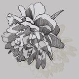 Bloempioen, hand-trekt Vector illustratie Royalty-vrije Stock Afbeeldingen