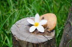 Bloemplumeria of frangipani met steen op boomstomp Royalty-vrije Stock Foto
