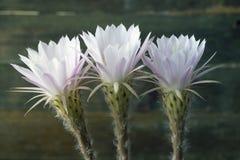Bloemrijke cactus Stock Afbeeldingen