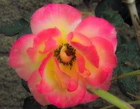 Bloemroze met geel Stock Fotografie