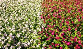 Bloemtuin twee kleuren Stock Fotografie