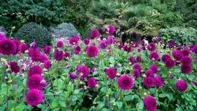 Bloemtuin van bloeiende purpere bloemen van dahlia's Zeer aardig algemeen plan stock video