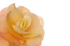 Bloesem (begonia) Royalty-vrije Stock Afbeelding