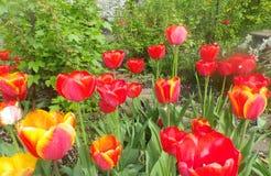 Bloesem in de lente van kleurrijke tulpen in de tuin Mooie bloemen rode rozen schitterende rozen in de zon in de tuin royalty-vrije stock foto