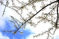 Bloesem, de lenteboom. Stock Afbeelding