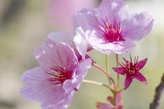 Bloesem die van sakuraboom in de lente en close-up bloeien royalty-vrije stock fotografie