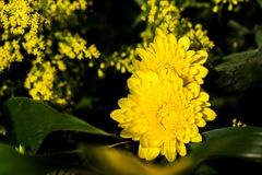 Bloesem gele bloemen op de donkere achtergrond royalty-vrije stock afbeeldingen