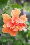 Bloesem oranje hibiscus Royalty-vrije Stock Afbeelding