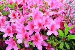 Bloesem roze bloemen Royalty-vrije Stock Foto