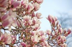 Bloesem roze magnolia Royalty-vrije Stock Foto's