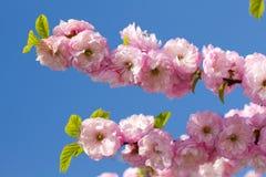 Bloesem roze sakura Royalty-vrije Stock Foto