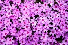 Bloesem Shiba Sakura Stock Afbeeldingen