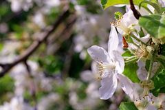 Bloesem van de kersenboom met zonlicht als teken van de lentetijd De bloesems van de de lentekers, witte bloemen Zonnige de lente royalty-vrije stock foto