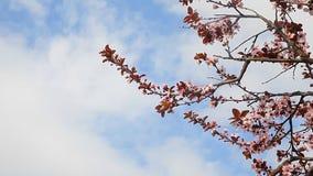 Bloesem van de lente de bloeiende bomen met blauwe hemel en wolken op achtergrond stock video