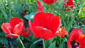 Bloesem van de de lente seizoengebonden openluchttuin van het tulpen de mooie slow-motion park stock footage