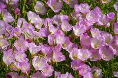 Bloesem van de roze bloemen van het bellflowersklokje in tuin, aardachtergrond royalty-vrije stock afbeelding