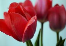 Bloesem van drie de lente de rode tulpen stock foto's