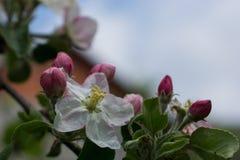 Bloesem van een appelboom Stock Afbeeldingen