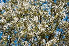 Bloesem van een boom Royalty-vrije Stock Foto's
