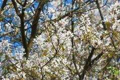 Bloesem van een boom Stock Foto's