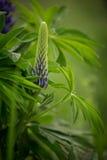 Bloesem van een pupplelupine in natuurlijke habitat Stock Afbeelding