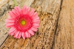 Bloesem van enige roze gerberabloem op rustiek hout voor een romantische groetkaart royalty-vrije stock afbeeldingen