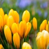Bloesem van gele krokus in de lente, bloembed van krokus Stock Afbeelding