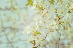 Bloesem van kersen enige tak op vage achtergrond Stock Foto