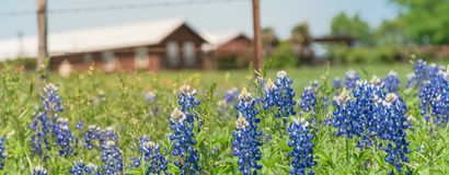 Bloesem van panorama de kleurrijke Bluebonnet bij landbouwbedrijf in Noord-Texas, Amerika stock foto's