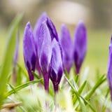Bloesem van purpere krokus in de lente, bloembed van krokus Stock Afbeeldingen