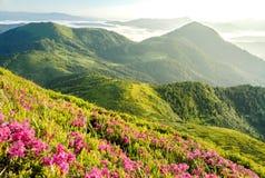 Bloesem van rododendron stock afbeeldingen