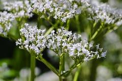 Bloesem van valeriaan, Valeriana-officinalis, waar geneeskrachtig valeriaan, Beieren, Duitsland, Europa royalty-vrije stock foto