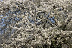 Bloesem Wit Cherry Colorful Of Springtime stock foto