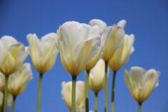 Bloesem Witte Tulpen royalty-vrije stock fotografie
