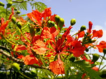 Bloesembloemen in Rood, Costa Rica royalty-vrije stock foto