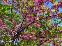 Bloesembomen in het stadspark in de lente Aardscène met zon in Zonnige dag stock foto