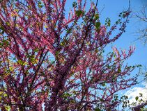 Bloesembomen in het stadspark in de lente Aardscène met zon in Zonnige dag stock fotografie