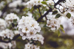 Bloesemboom Stock Foto