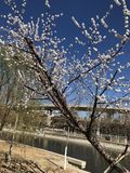 Bloesemboom opzij de rivier stock foto